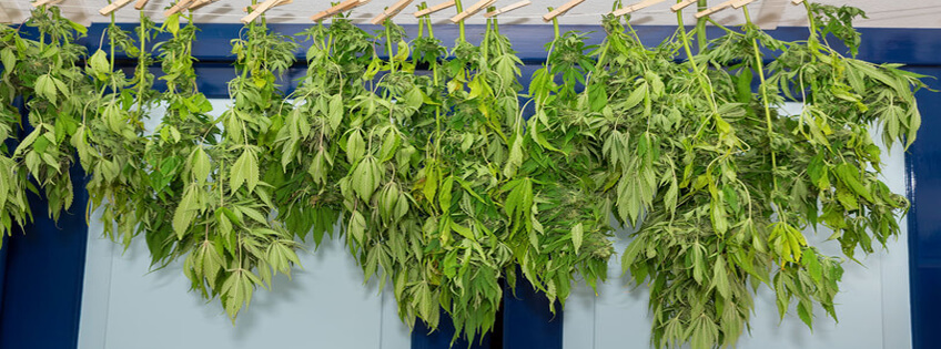 Hanged Cannabis For Drying