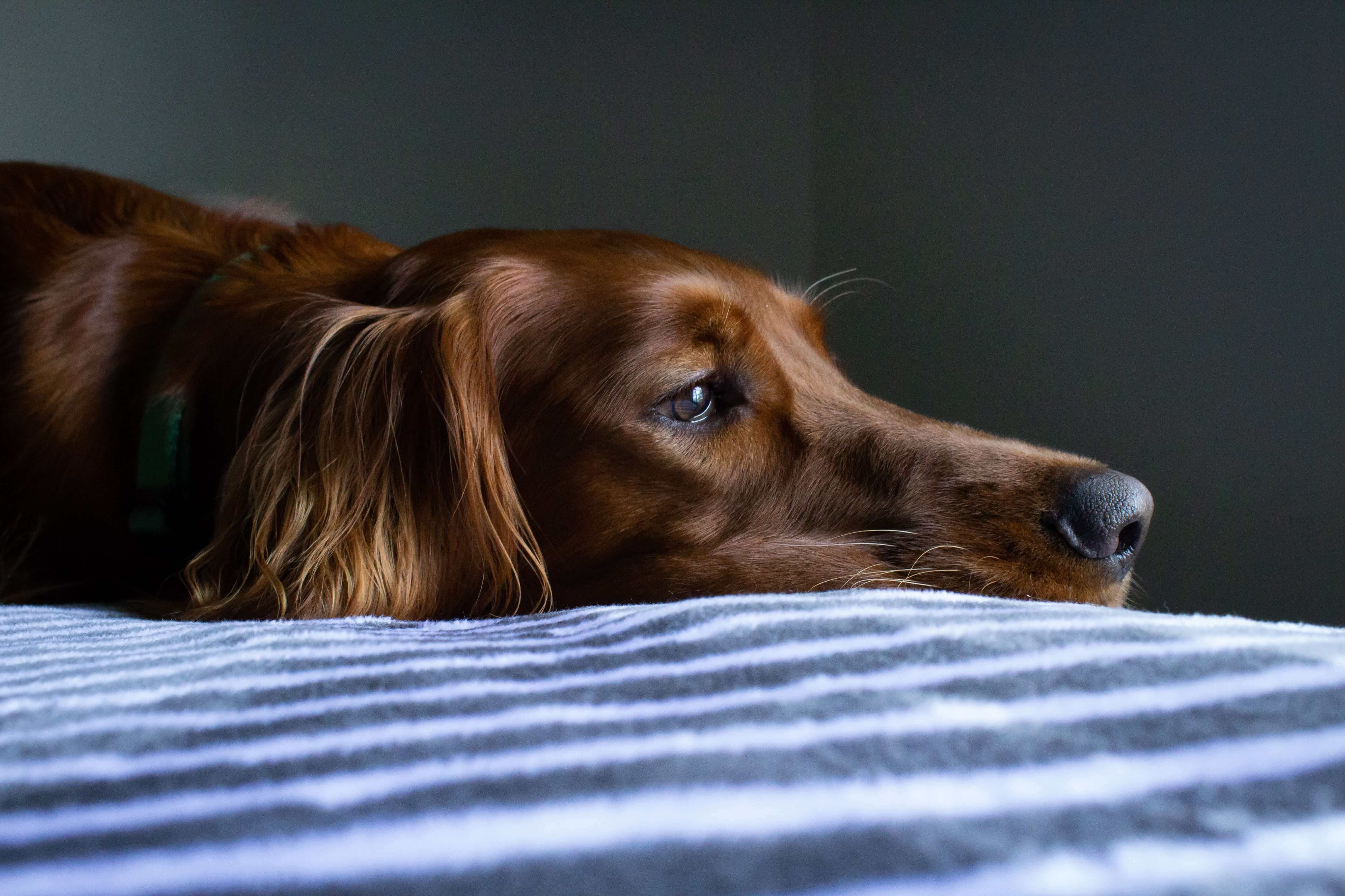 How To Calm And Comfort Anxious Dogs Using CBD Oil