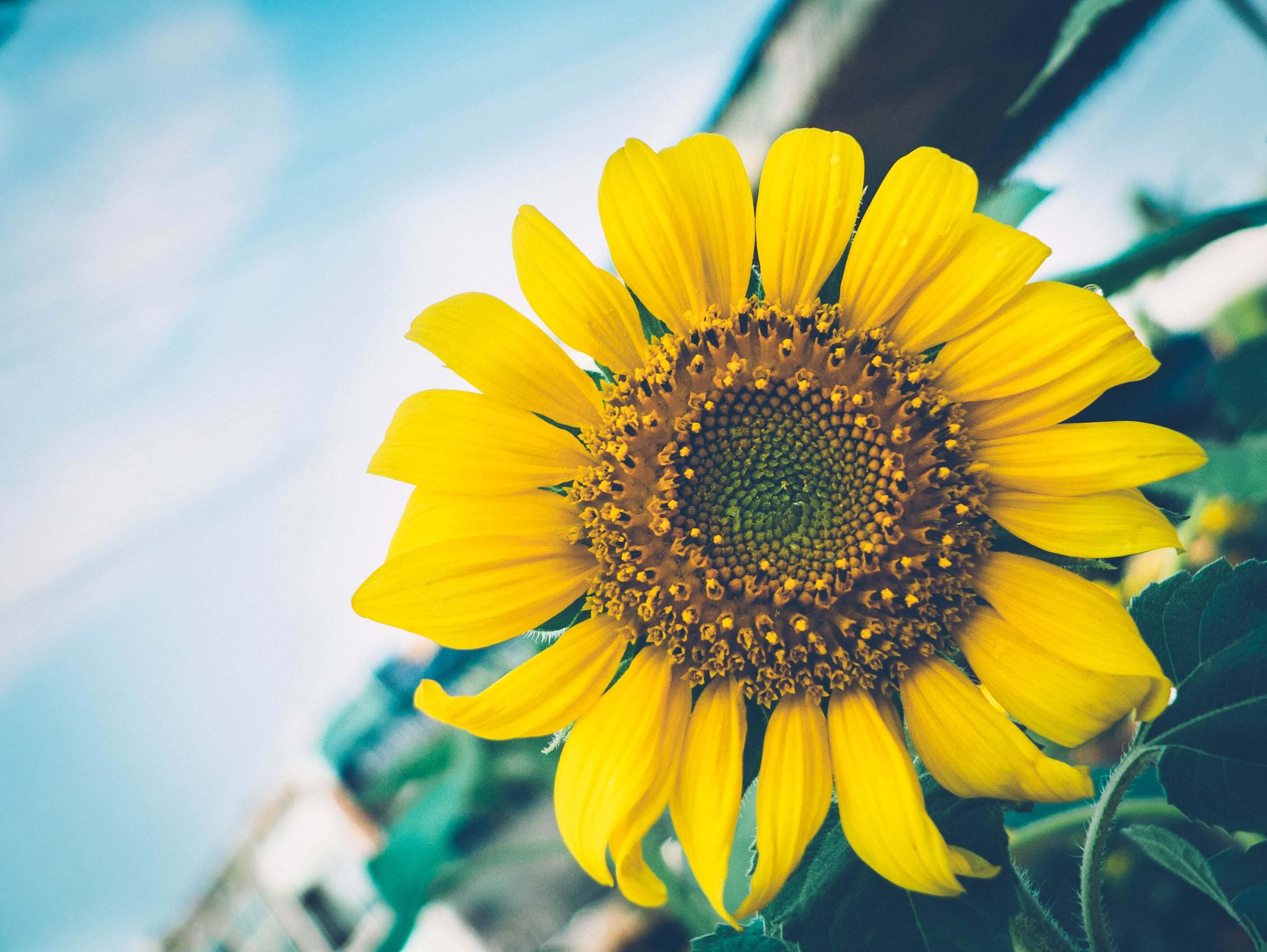 Why And How To Use Sunflower Lecithin To Make Edibles