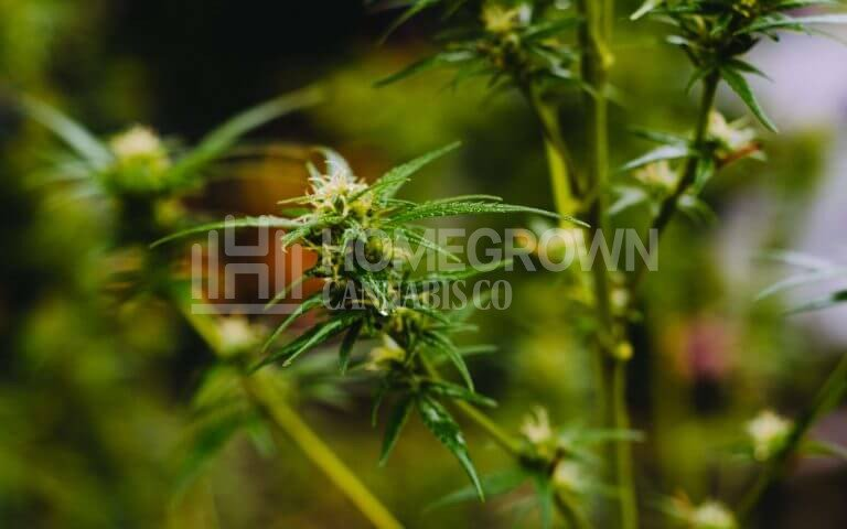 How Are Sativa Plants Different From Indica?