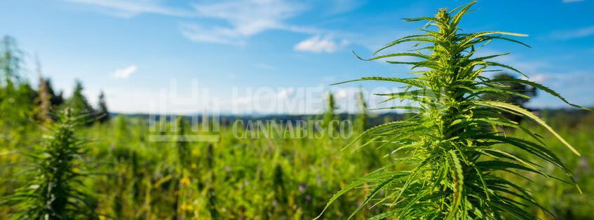 Cannabis Field Outdoor