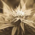 Bud Rot Cannabis