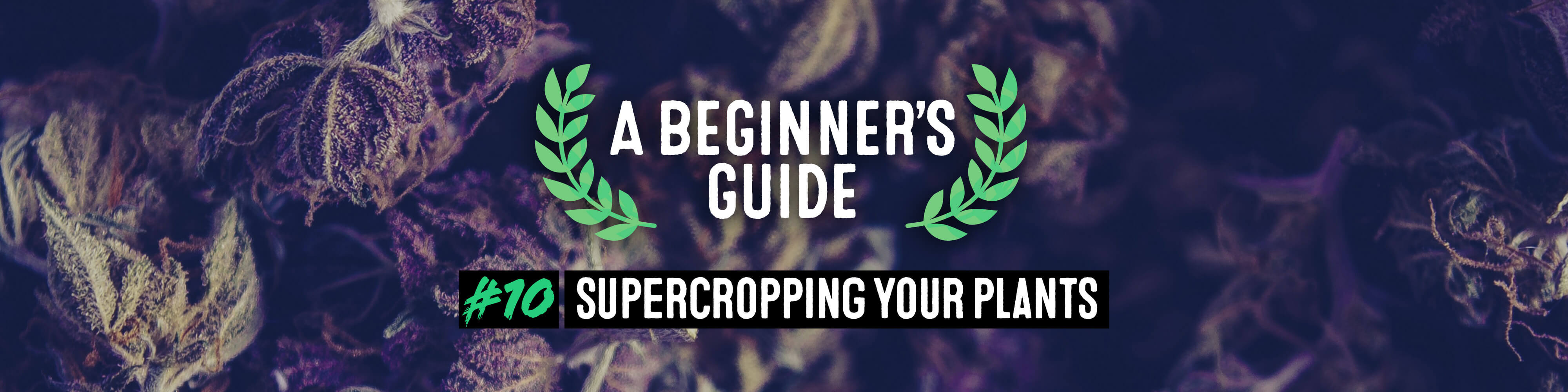 supercropping your plants