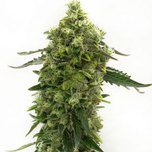 Bubba Kush Autoflower